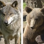 <b>Ours, loup, comment cohabiter ?</b>