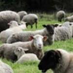 <b>Les animaux sont de retour aux Argoulets… pour tondre la pelouse</b>