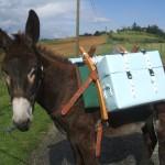 <b>[DOSSIER] Des balades avec des ânes sur les coteaux du Volvestre</b>