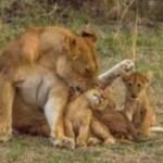 <b>Montpellier interdit les cirques avec des animaux sauvages</b>