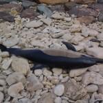 <b>Aux Sables-d&#039;Olonne et à Jard-sur-Mer, quatre nouveaux cadavres de dauphins découverts</b>