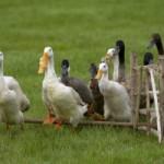 <b>Vide sanitaire dans la région pour les élevages d'oies et de canards</b>