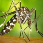<b>Les communes toulousaines fourbissent leurs armes contre le moustique-tigre</b>