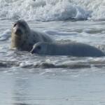 <b>Baie de Somme : carnet rose dans la colonie de phoques...</b>