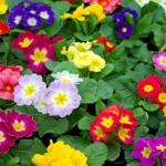 <b>Jardin : ces fleurs d'hiver qui annoncent le printemps</b>