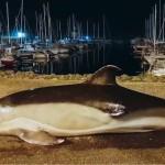 <b>VIDEO. Échouage de dauphins : Sea Shepherd patrouille en baie des Sables-d'Olonne et ramène un ...</b>