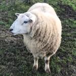 <b>Gironde : un mouton de 100 kg volé dans un enclos à Caudrot</b>