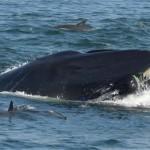 <b>Afrique du Sud : une baleine avale un plongeur… et le recrache vivant</b>