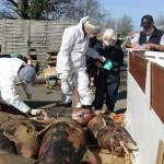 <b>19 cadavres de dauphins échoués en une semaine sur la côte de Jade</b>