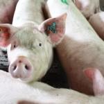 <b>Crise porcine. Une coopérative bretonne débloque 2millions d'euros</b>