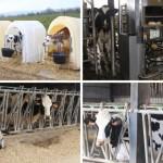 <b>Insolite : une centaine de vaches en cure de bien-être à Bagnoles-de-l&#039;Orne-Normandie</b>
