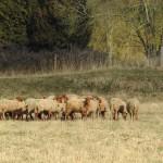 <b>Depuis 2008, la municipalité de Pont-Audemer mise sur l'écopâturage et a ses moutons</b>