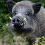 <b>Face aux dégâts agricoles et au risque de peste porcine : la chasse aux sangliers autorisée dans l&#...</b>