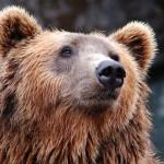 <b>Pyrénées. Qui veut tenter d'effaroucher les ours dans l'Ariège ?</b>