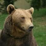 <b>Hautes-Pyrénées. Trois brebis et un bélier attaqués, l'ours Goiat dans le viseur des éleveurs</b>
