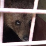 <b>L'ourson des Pyrénées en cavale retrouvé sain et sauf grâce à une promeneuse, dans le Tarn</b>