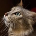 <b>Toulouse. Concours félin et vente de chatons pour le festival du chat, au parc des expos</b>