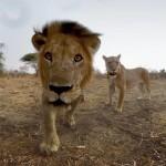 <b>Venez vivre le safari de vos rêves au Gaumont Labège</b>