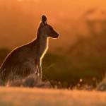 <b>Pour sauver les bébés kangourous en Australie, ils mobilisent des couturières pour faire des poches</b>