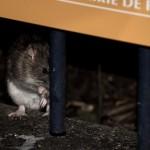 <b>Rats à Paris : les rongeurs s'invitent dans la campagne des municipales</b>